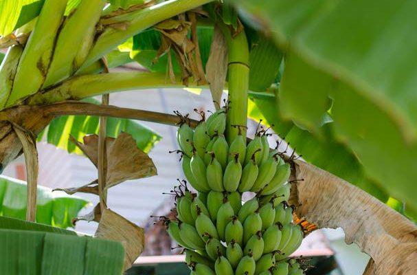 Green bananas growing on tree