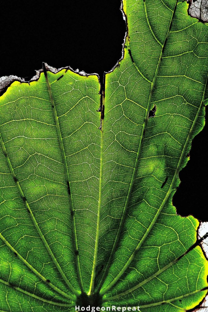 HodgeonRepeat blog - on mothering imperfectly - close up of imperfect green leaf
