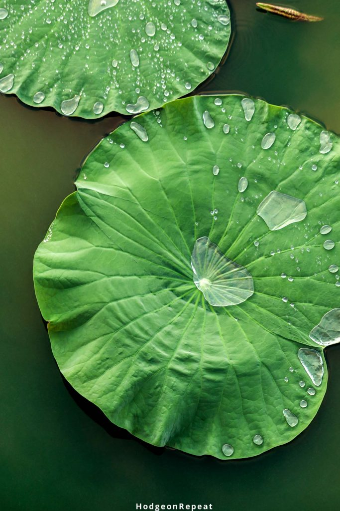 HodgeonRepeat blog - health and fitness news roundup - mindfullness - dew on green lily pad